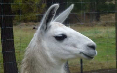 Llama for Sale: Lord Snowden