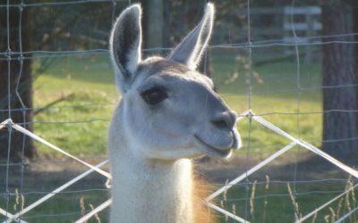 Llamas for Stud: Fidel de Patagonia