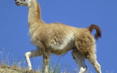 A Day in the Life of a Wild Llama