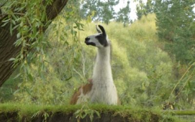 What Exactly is a Ccara Llama?