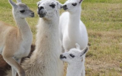 For the llove of llamas