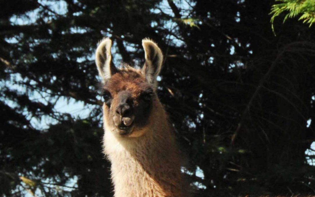 Llamas for Sale: Helga