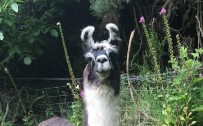 Llamas for Sale: 	Sensation