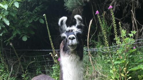 Llamas for Sale: Sensation