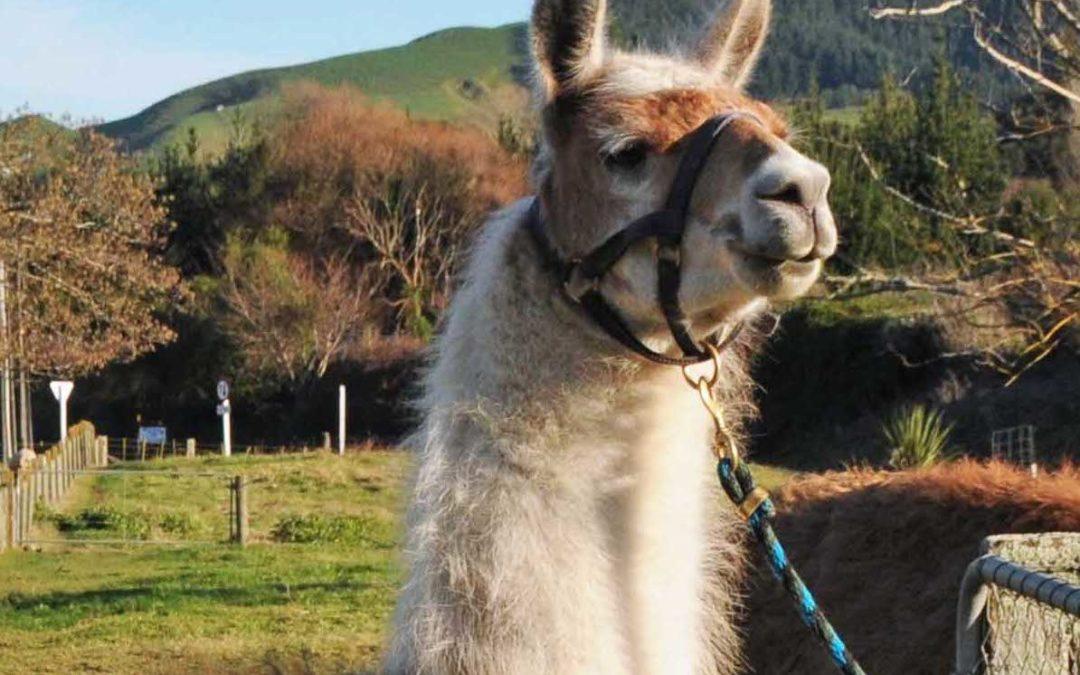 Llamas for Stud: Champenoise Estefan
