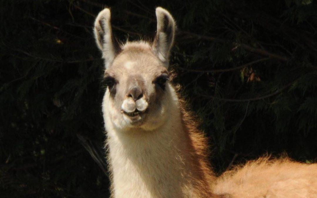 Llamas for Sale: Helena